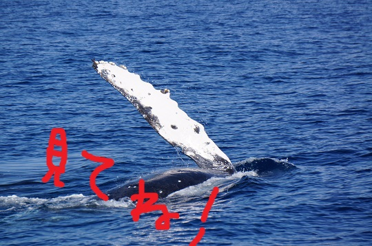okinawa-whale-watching-blow-peduncle-arch-fluke-up-down-pec-slap-flipper-flopping-spy-hop-tail-peduncle-breach.20171204_01.jpg