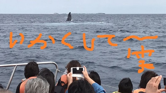 okinawa-whale-watching-blow-peduncle-arch-fluke-up-down-pec-slap-flipper-flopping-spy-hop-tail-peduncle-breach.20180312_07.jpeg