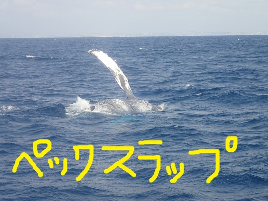 okinawa-whale-watching-blow-peduncle-arch-fluke-up-down-pec-slap-flipper-flopping-spy-hop-tail-peduncle-breach.20180314_04.jpg