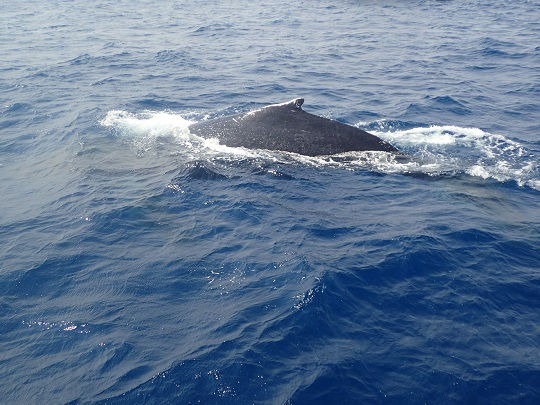 okinawa-whale-watching-blow-peduncle-arch-fluke-up-down-pec-slap-flipper-flopping-spy-hop-tail-peduncle-breach.2018324.07.JPG